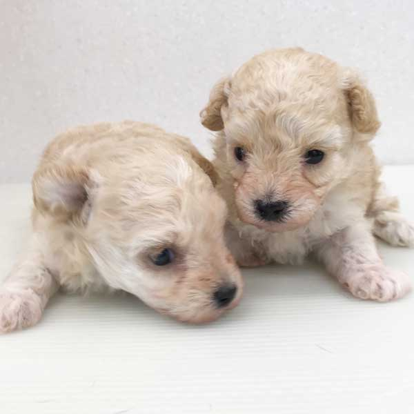 プードルの仔犬が誕生しました。