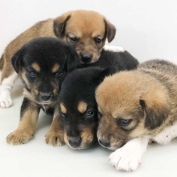 ビーグルMIXの仔犬が誕生しました。