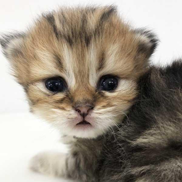 ペルシャの仔猫が誕生しました。