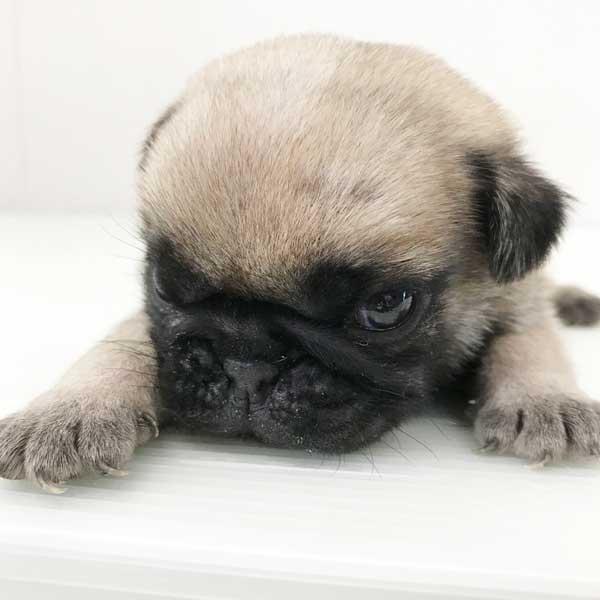 パグの仔犬が誕生しました。