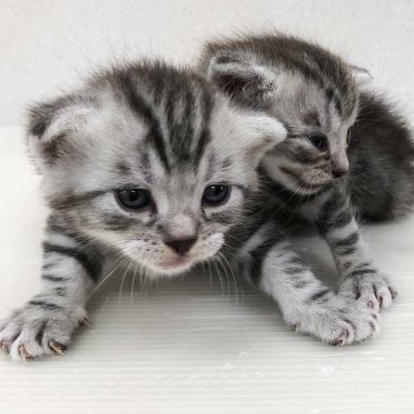 アメショーの仔猫が誕生しました。