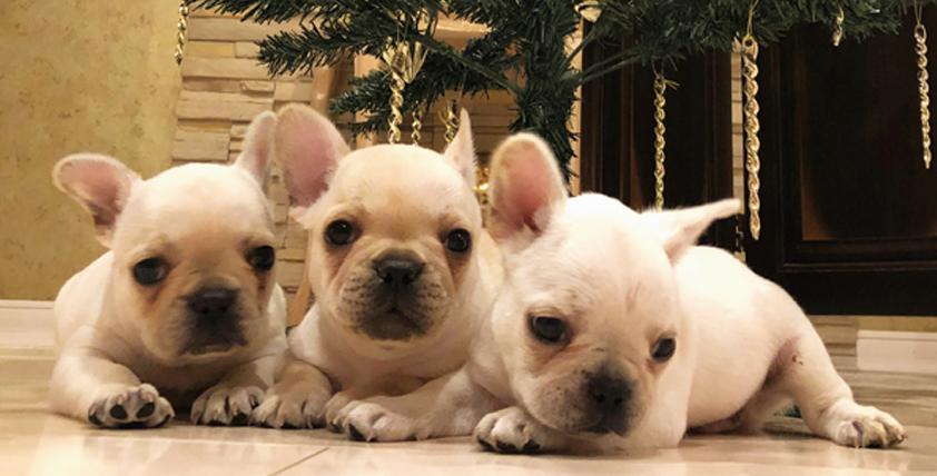 ホワイトフレンチの仔犬が誕生しました。