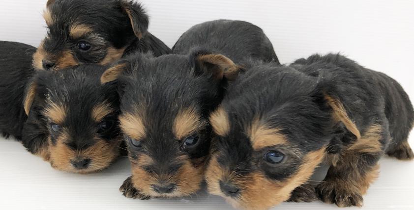 ヨークシャテリアの仔犬が誕生しました。