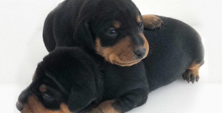 ミニピンの仔犬が誕生しました。