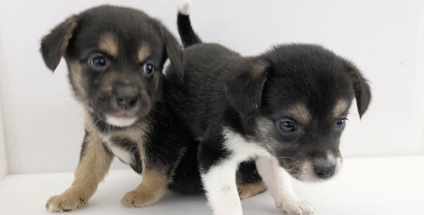 ビーグルミックスの仔犬が誕生しました。