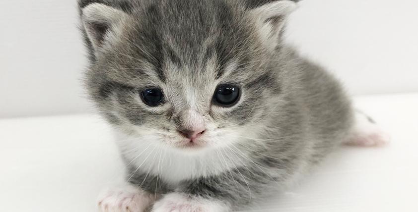 アメリカンカールの仔猫が誕生しました。