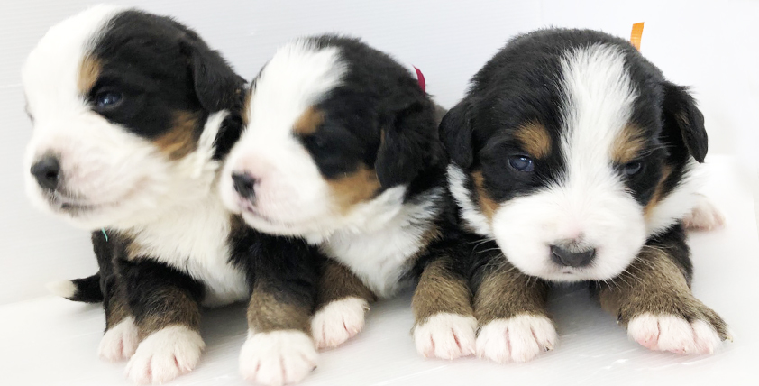 バーニーズ・マウンテン・ドックの仔犬が誕生しました。
