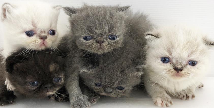 エキゾチックショートヘアの仔猫が誕生しました。