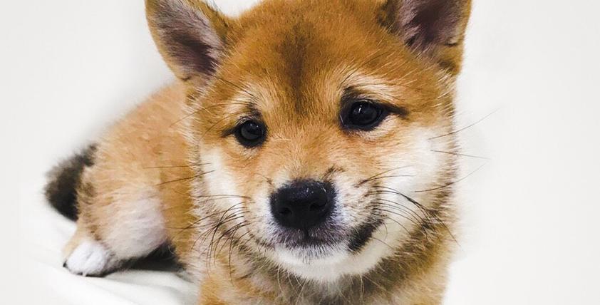本日のおすすめ(柴犬 )