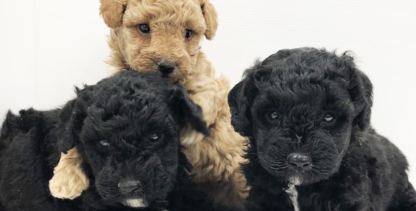 トィ・プードルの仔犬が誕生しました。