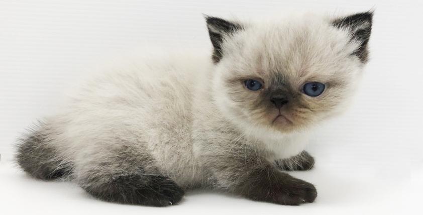 エキゾチックの仔猫が誕生しました。