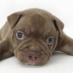 アメリカン・ブリーの仔犬!2021.8.27生の仔犬が誕生しました - ONE DO GROUP