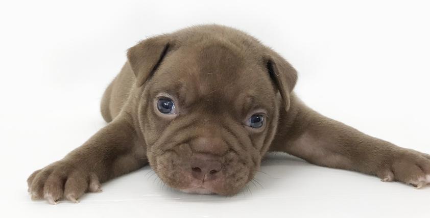 アメリカン・ブリーの仔犬!2021.8.27生の仔犬が誕生しました