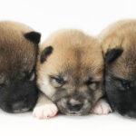 柴犬の仔犬!2021.9.6生の仔犬が誕生しました - ONE DO GROUP
