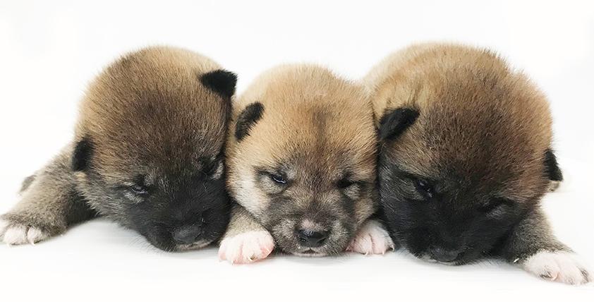 柴犬の仔犬!2021.9.6生の仔犬が誕生しました