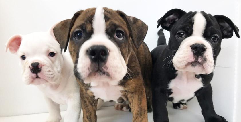 アメリカン・ブリーの仔犬!2021.6.25生の仔犬が誕生しました