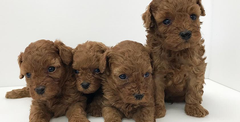 トイ・プードルの仔犬!2021.3.31生れの仔犬が誕生しました