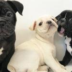 ショーティ・ブルの仔犬!2021.3.4生れの仔犬が誕生しました - ONE DO GROUP
