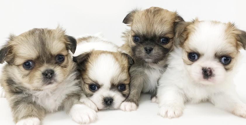 (MIX ペキニーズ×チワワ)の仔犬!2021.8.13生れの仔犬が誕生しました