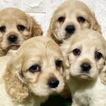 アメリカンコッカースパニエルの仔犬!2021.3.24生れの仔犬が誕生しました - ONE DO GROUP