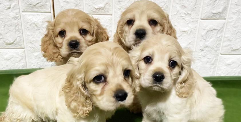 アメリカンコッカースパニエルの仔犬!2021.3.24生れの仔犬が誕生しました