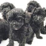 トイ・プードルの仔犬!2021.8.3生れの仔犬が誕生しました - ONE DO GROUP