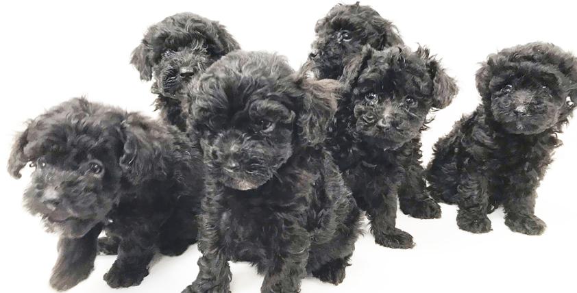 トイ・プードルの仔犬!2021.8.3生れの仔犬が誕生しました