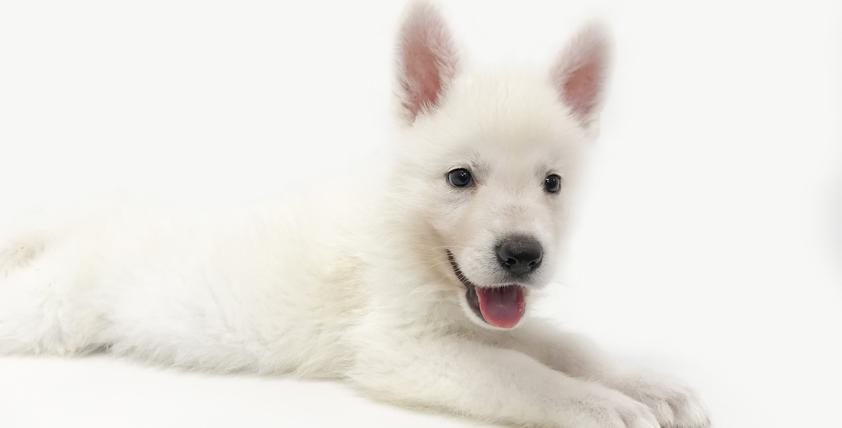 ホワイトシェパードの仔犬!2021.7.24生れの仔犬が誕生しました