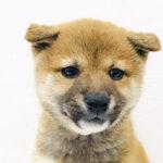 本日のおすすめ(柴犬)OneBuddy 蕨錦町店 - ONE DO GROUP