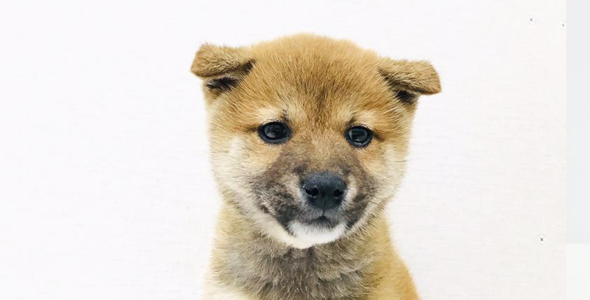 本日のおすすめ(柴犬)OneBuddy 蕨錦町店