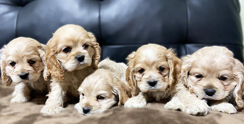 アメリカンコッカースパニエルの仔犬!2021.1.22生れの仔犬が誕生しました