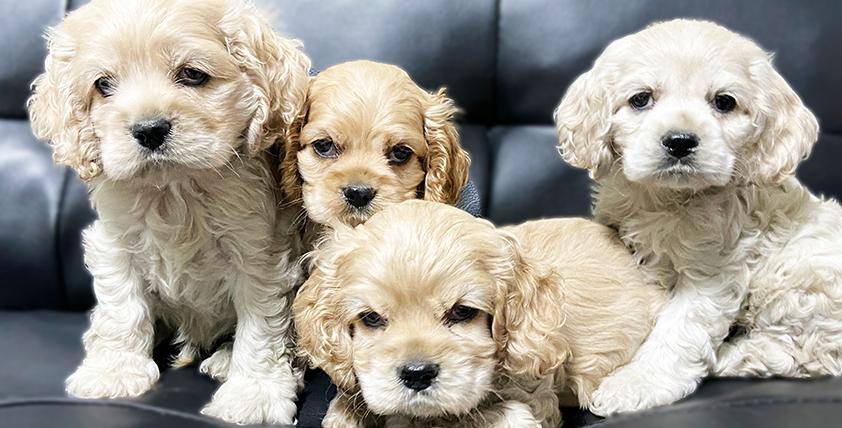アメリカンコッカースパニエルの仔犬!2021.3.4生れの仔犬が誕生しました