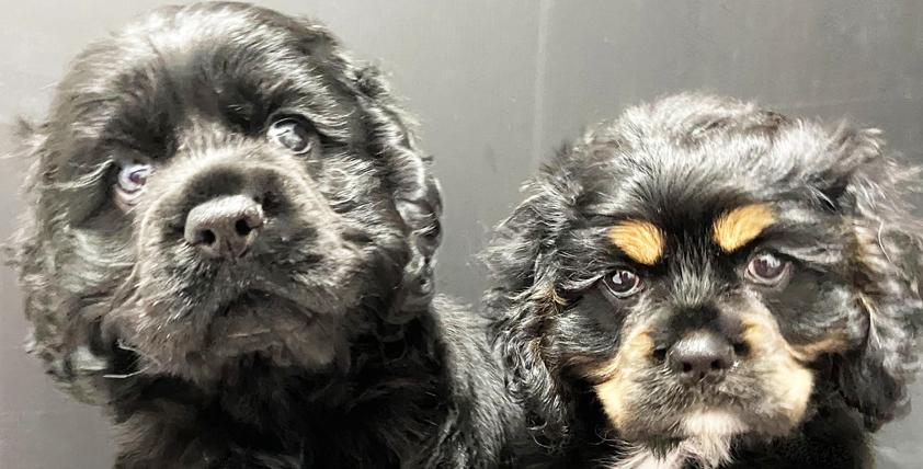 アメリカンコッカースパニエルの仔犬!2021.3.22生れの仔犬が誕生しました