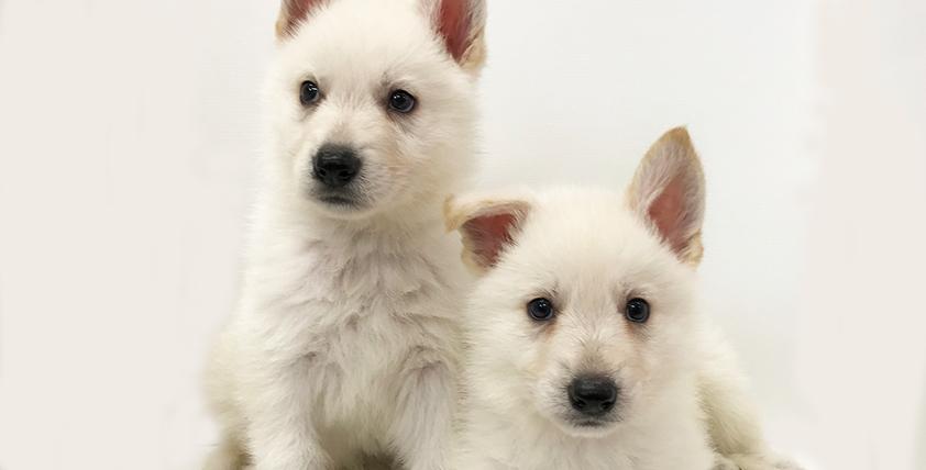 ホワイトシェパードの仔犬!2021.1.29生れの仔犬が誕生しました