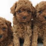 トイ・プードルの仔犬!2021.8.14生れの仔犬が誕生しました - ONE DO GROUP