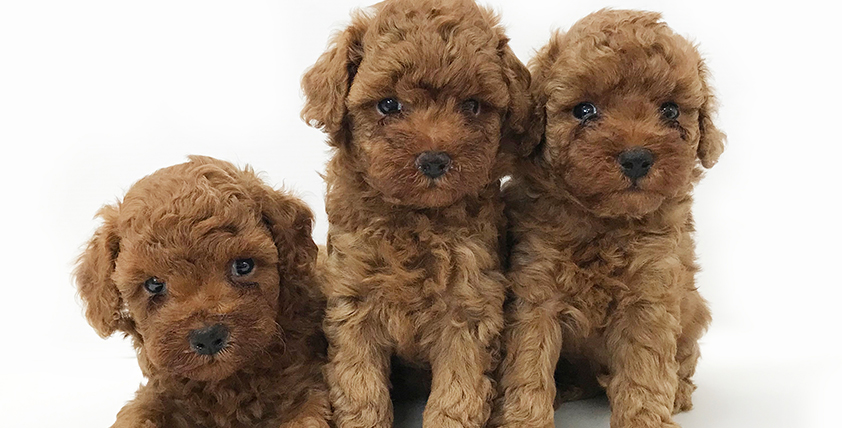 トイ・プードルの仔犬!2021.8.14生れの仔犬が誕生しました