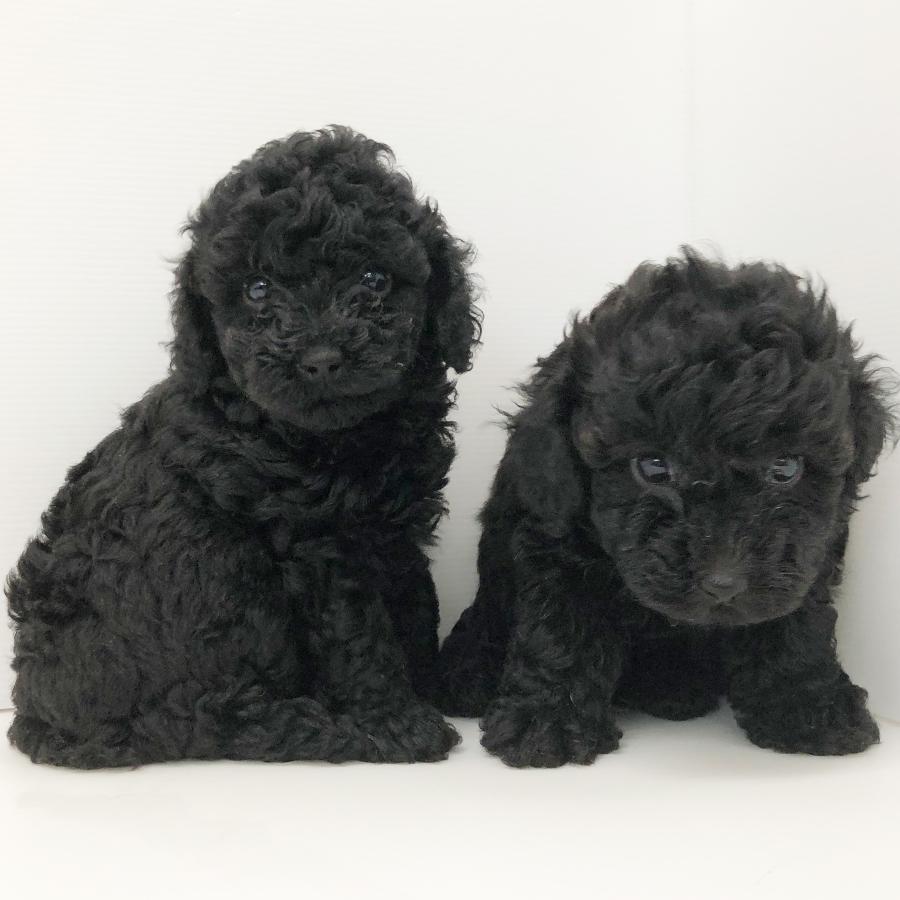 トィ・プードルの仔犬!2020.8.3生れの仔犬が誕生しました