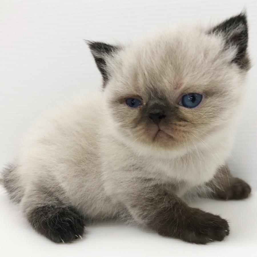 エキゾチックの仔猫!2020.7.18生れの仔猫が誕生しました