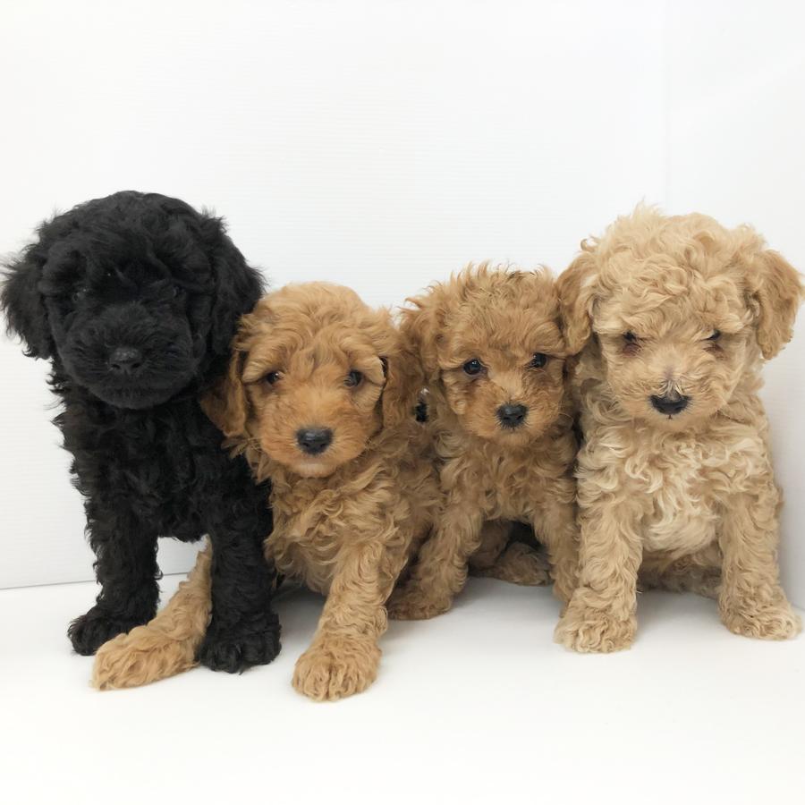 トィ・プードルの仔犬!2020.8.6生れの仔犬が誕生しました