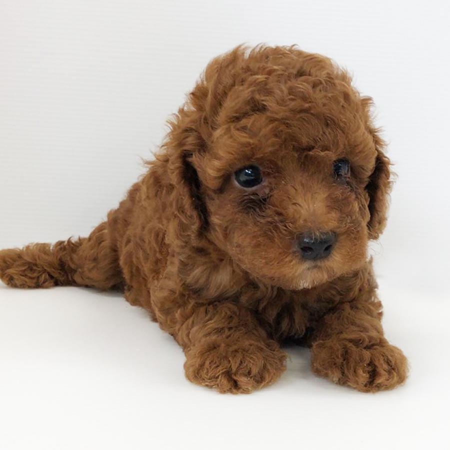 トィプードルの仔犬!2020.6.23生れの仔犬が誕生しました