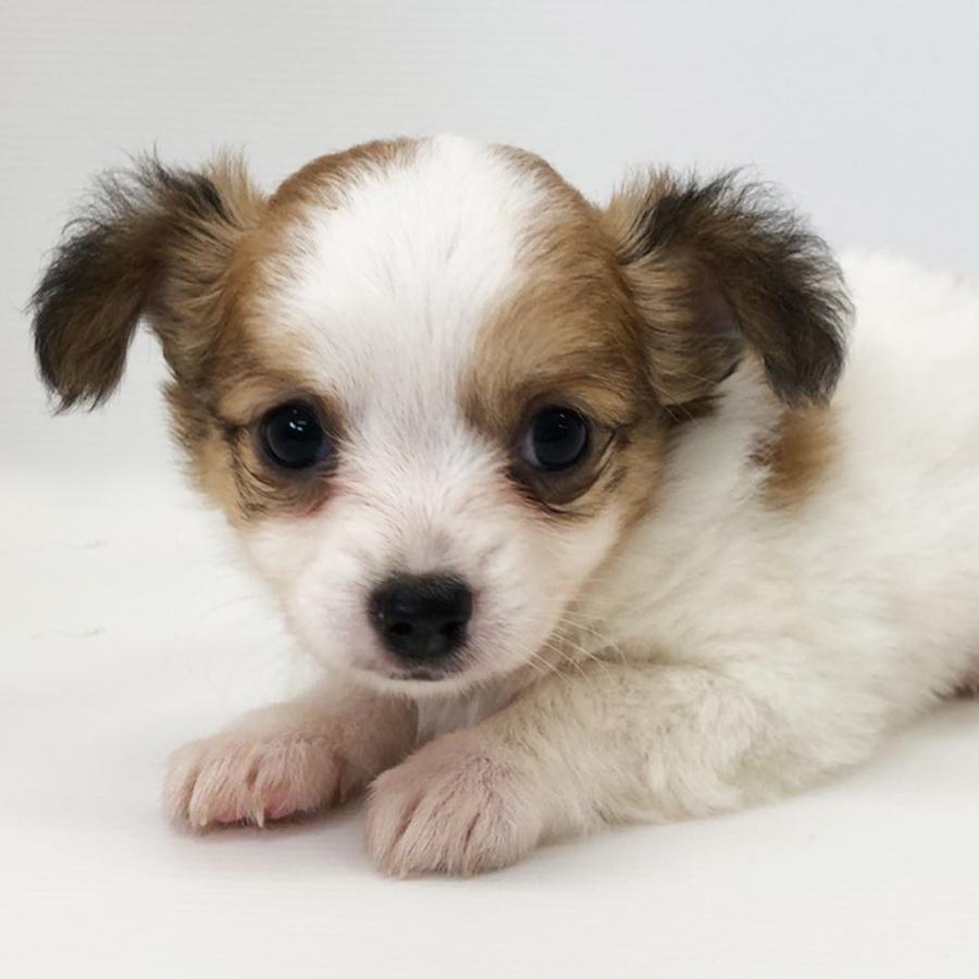 チワワの仔犬!2020.6.21生れの仔犬が誕生しました