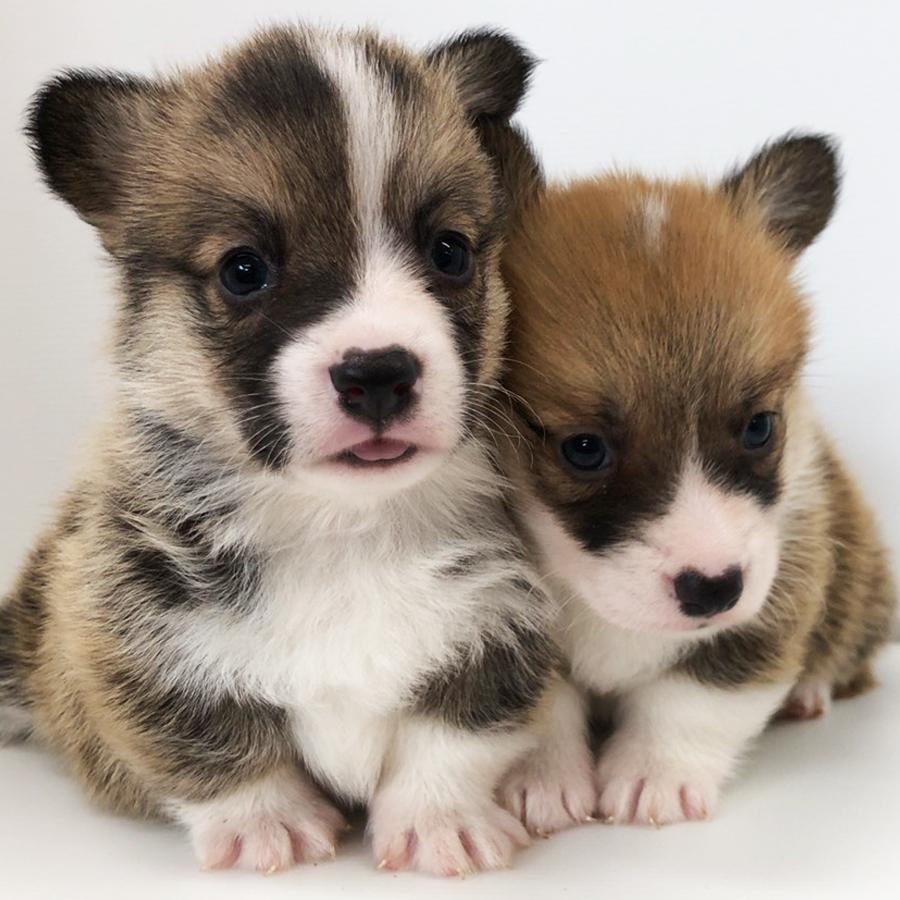 コーギーの仔犬!2020.7.2生れの仔犬が誕生しました。