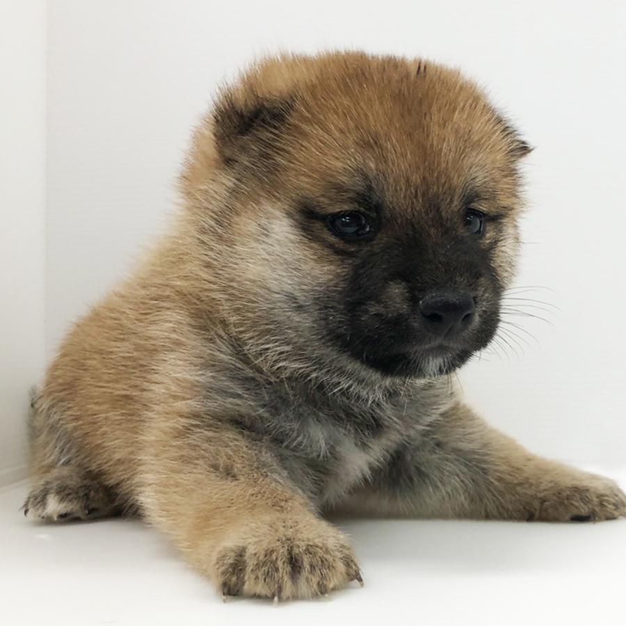 柴犬の仔犬!2020.7.16生れの仔犬が誕生しました