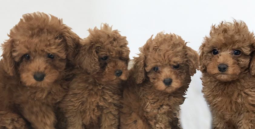 本日のおすすめ(トイ・プードル)犬の牧場 - ONE DO GROUP