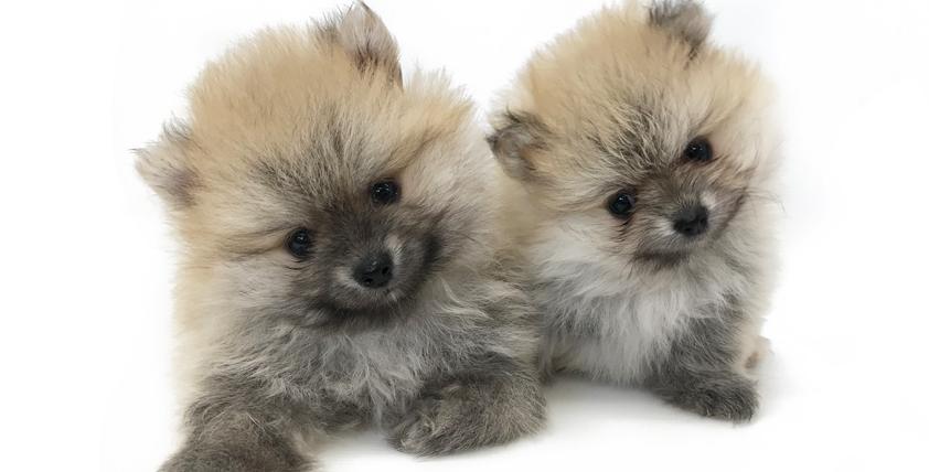 ポメラニアンの仔犬!2021.6.13生の仔犬が誕生しました