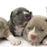 ピットブルの仔犬!2021.6.22生の仔犬が誕生しました - ONE DO GROUP