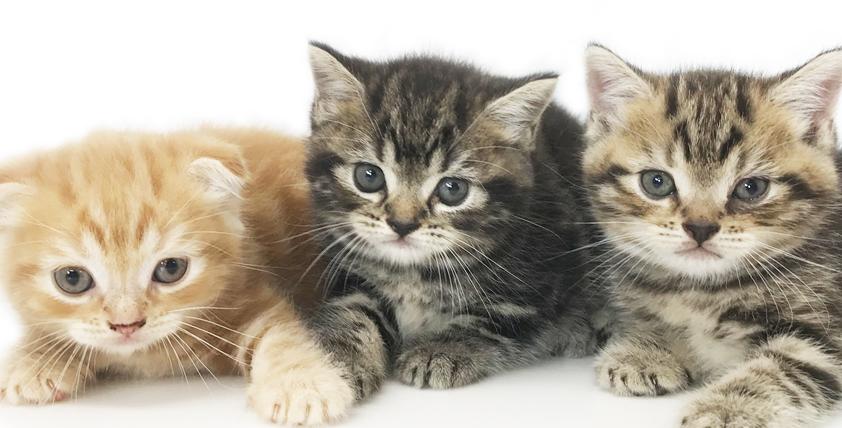 スコティッシュフォールドの仔猫!2021.6.7生れの仔猫が誕生しました - ONE DO GROUP